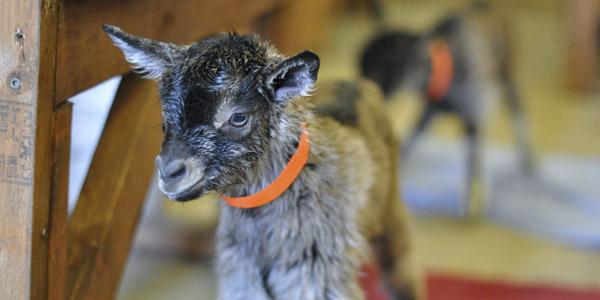 baby goats java and jericho_blog_7
