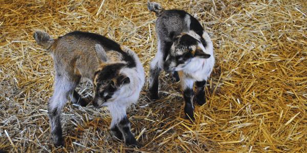 vanish-and-venice-goats_blog_5