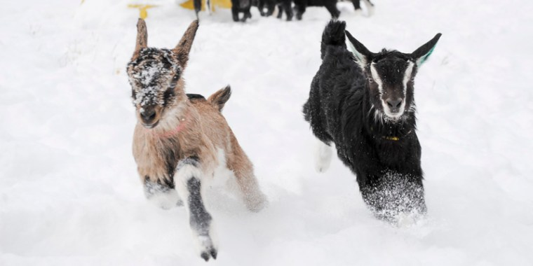 baby goats in the snow_14