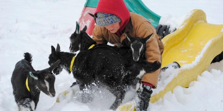 baby goats in the snow_15