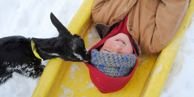 baby goats in the snow_19
