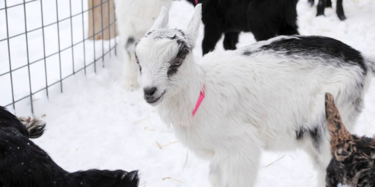 baby goats in the snow_6