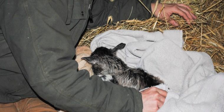 goat birth hazelnut_1