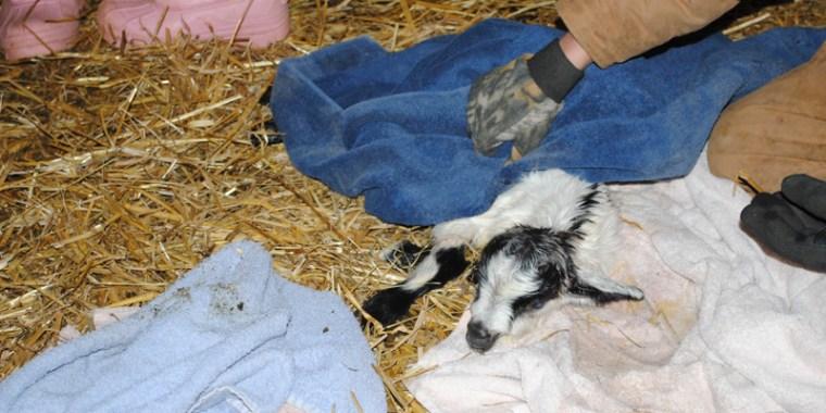 goat birth reluctant_blog_2