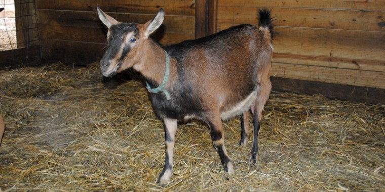 tapioca baby goats_blog_1