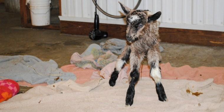 zany baby goats_blog_3