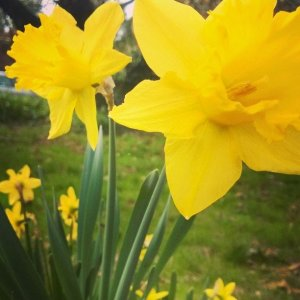 daffodil - artistic inspiration
