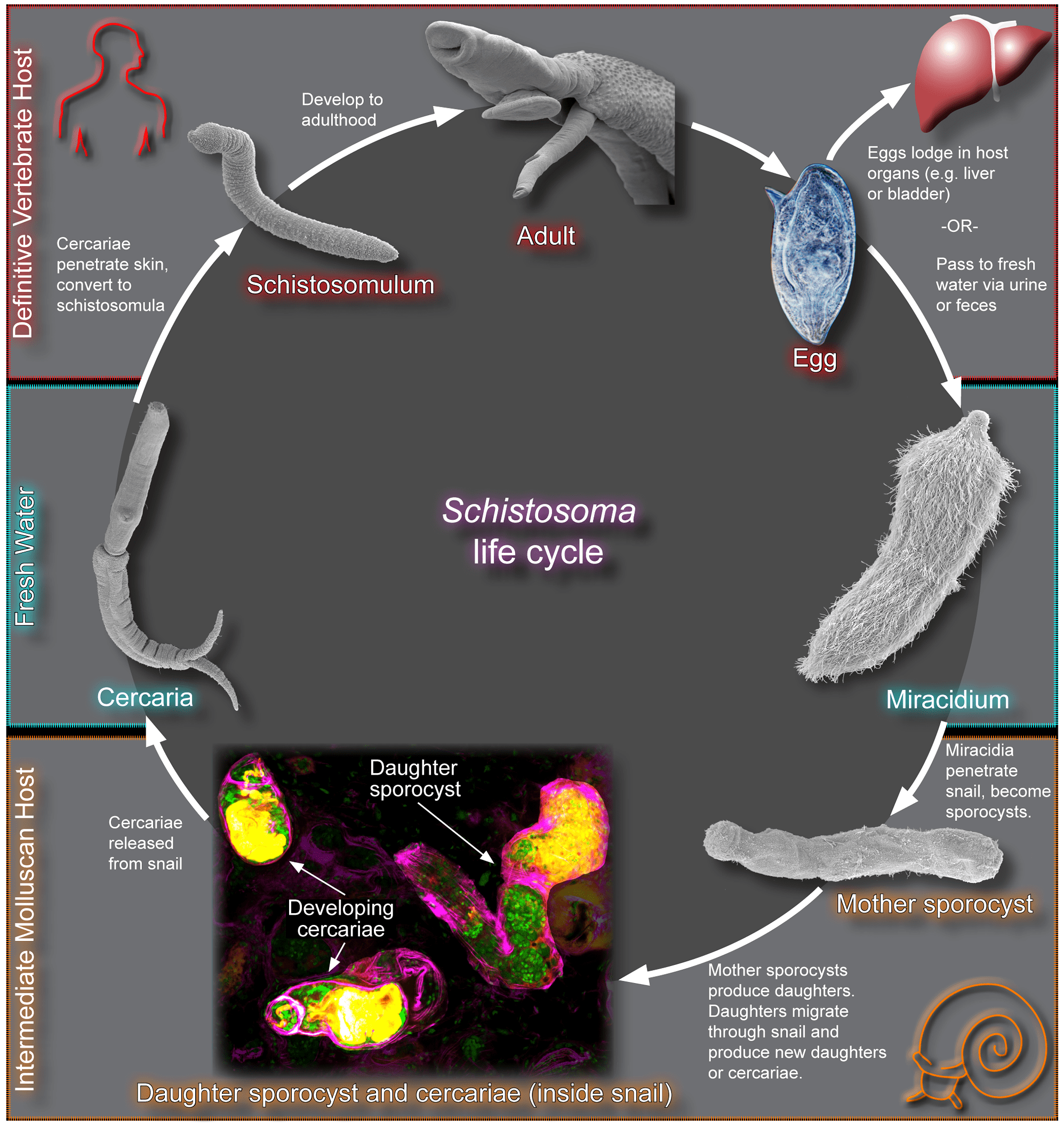 hight resolution of the schistosome life cycle
