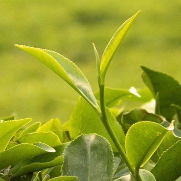 EGCG / Camellia Sinensis
