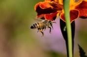 Bij, bijen, bloem, natuur, vliegende bij, foto Pixabay