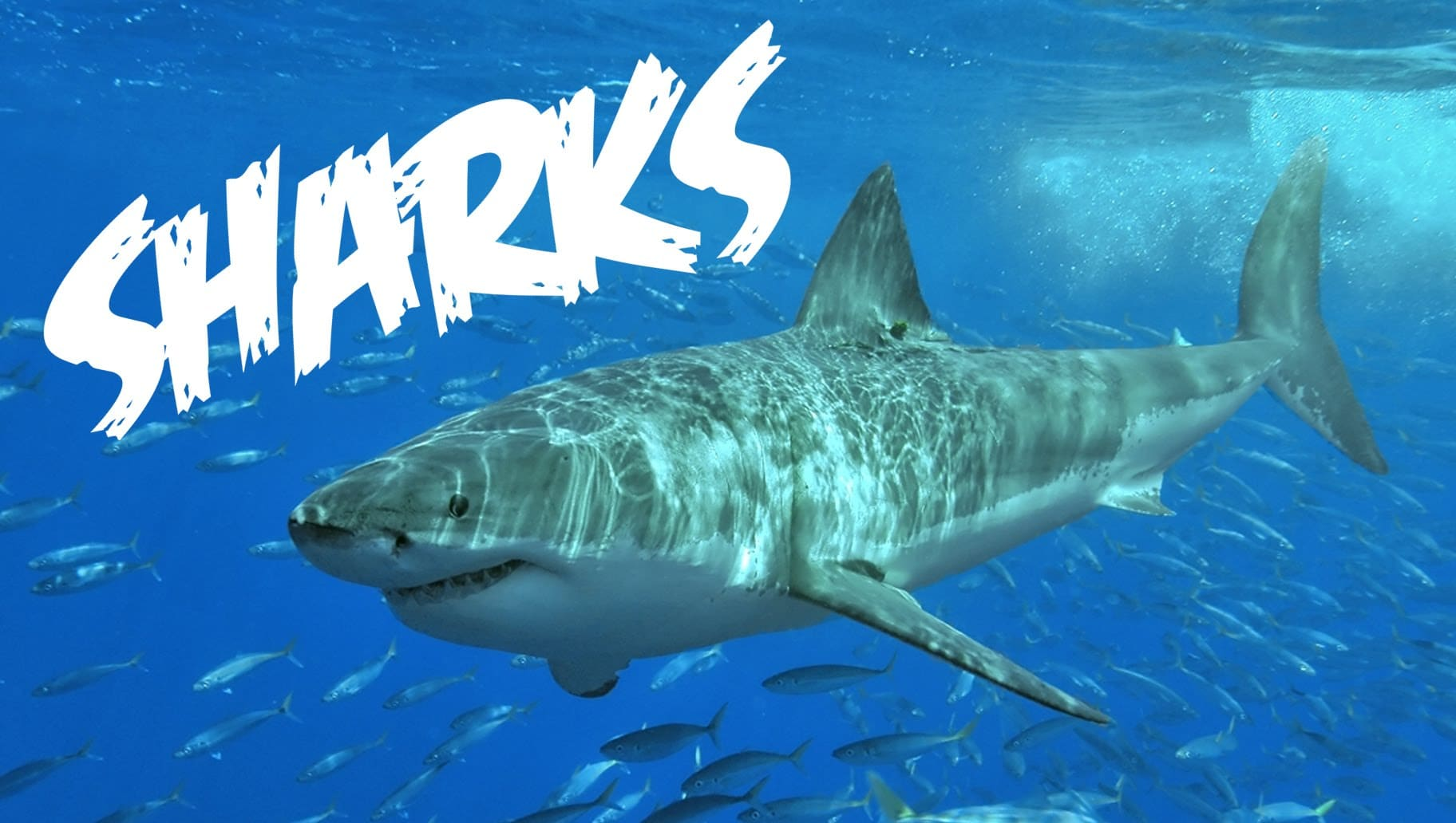 All About Sharks For Children Animal Videos For Kids
