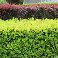 Arbustes à croissance rapide