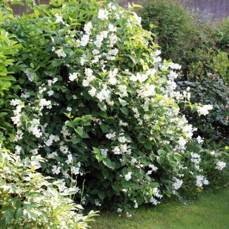 Arbustes croissance rapide place des jardins le blog - Haie brise vue croissance rapide ...