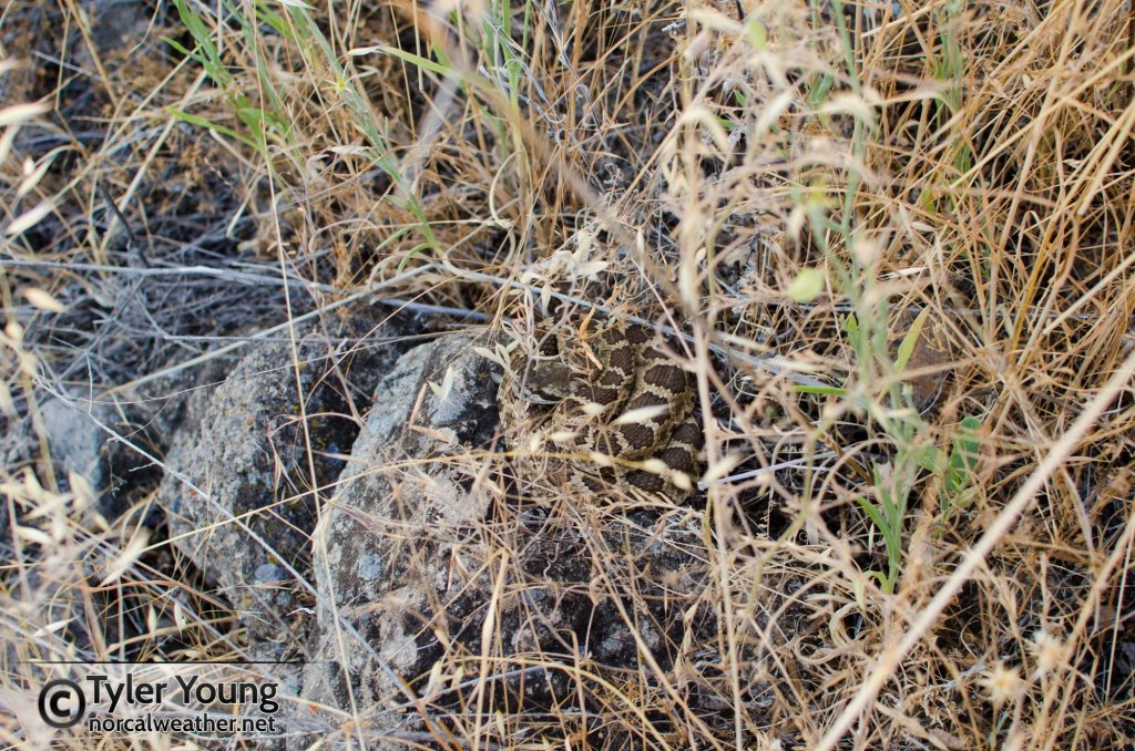 In-situ rattlesnake hanging out on a rock.