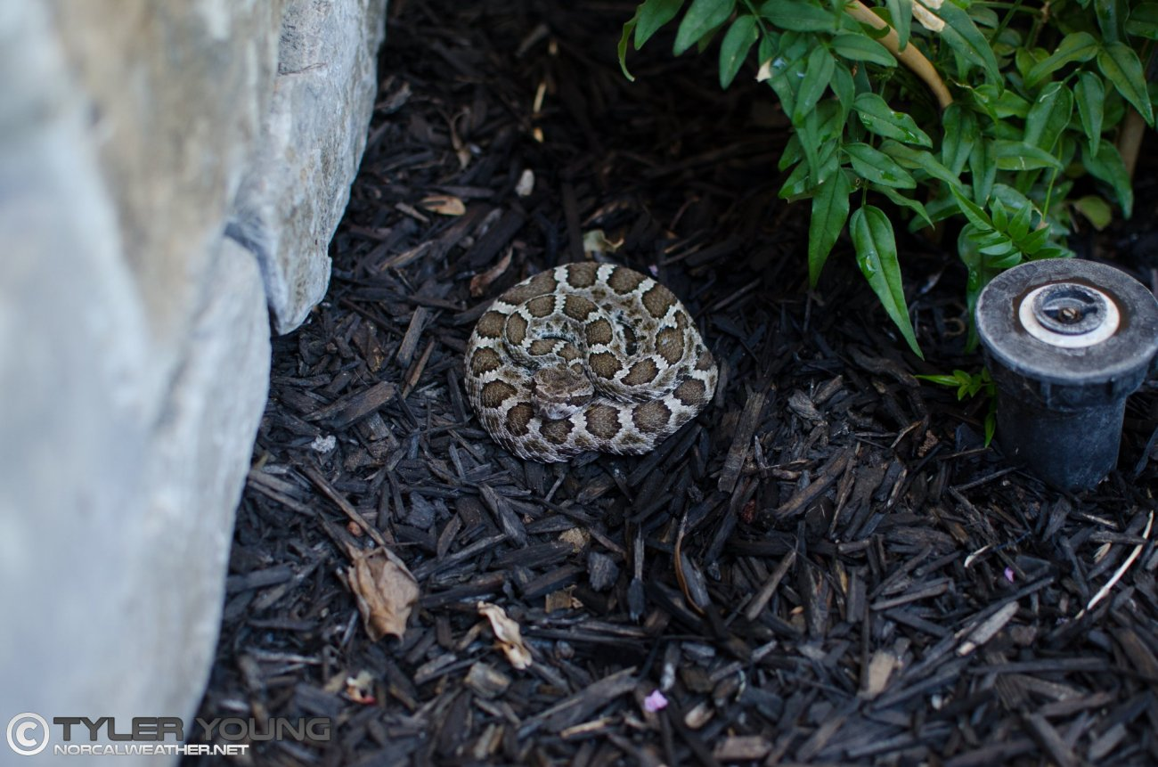 Photo of a juvenile rattlesnake in a planter next to a sprinkler, in Granite Bay.