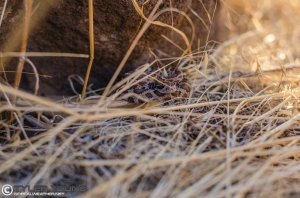 A neonate rattlesnake I found and photographed in early September.