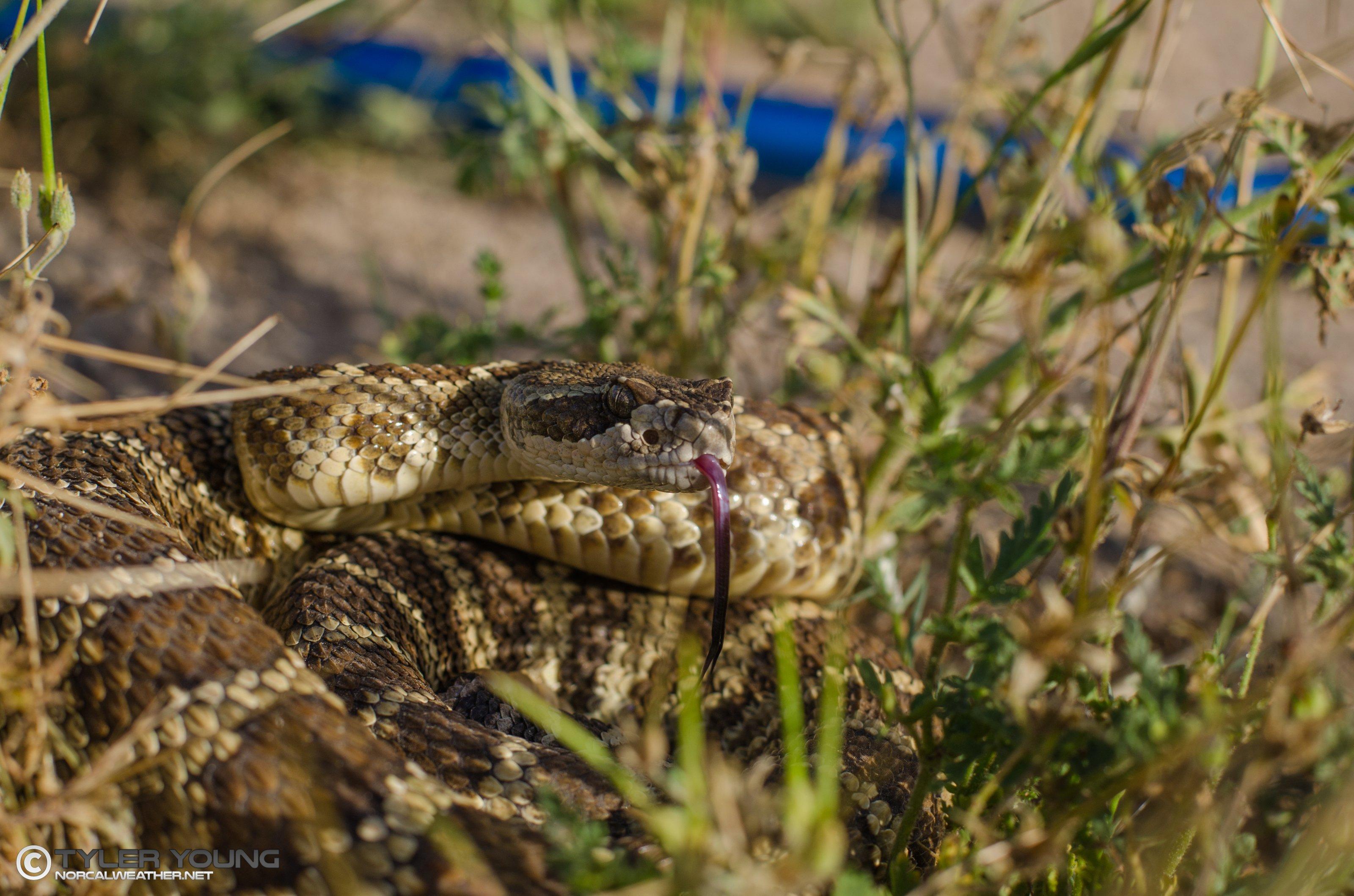 Recent Rattlesnake Bites