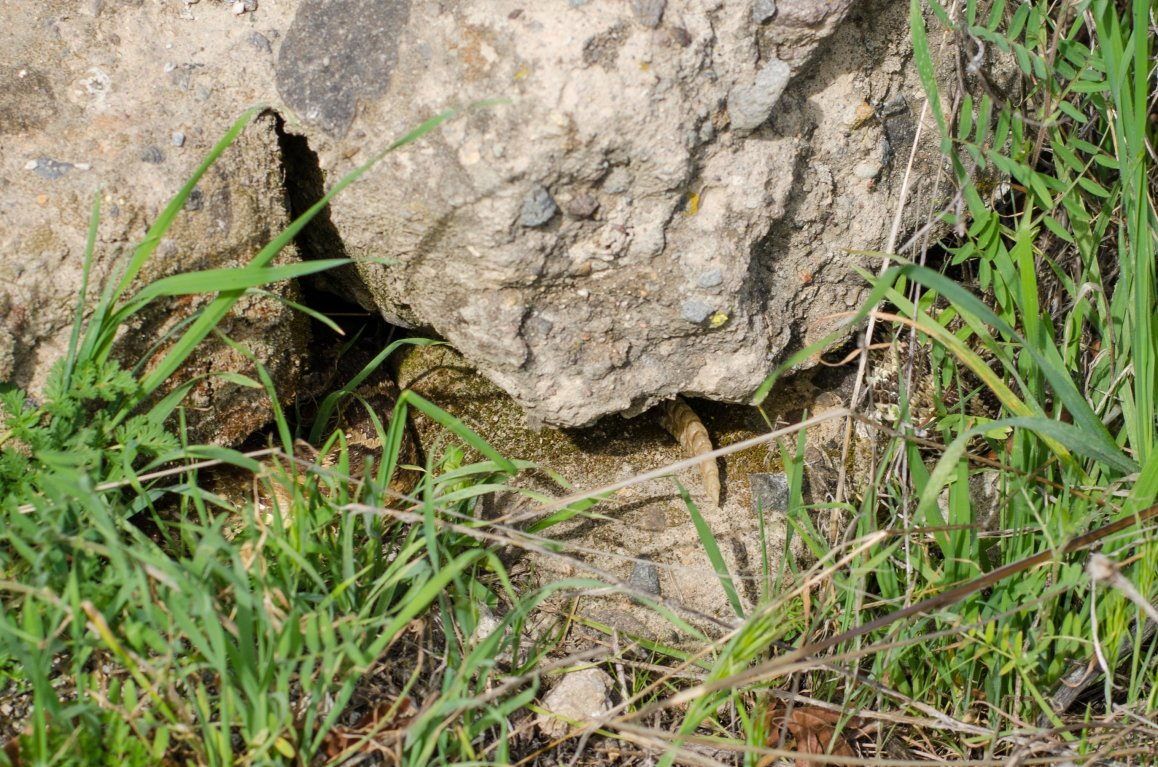 If you look closely, you'll notice two rattlesnakes outside this denning rock. These two popped out in early February of 2015.