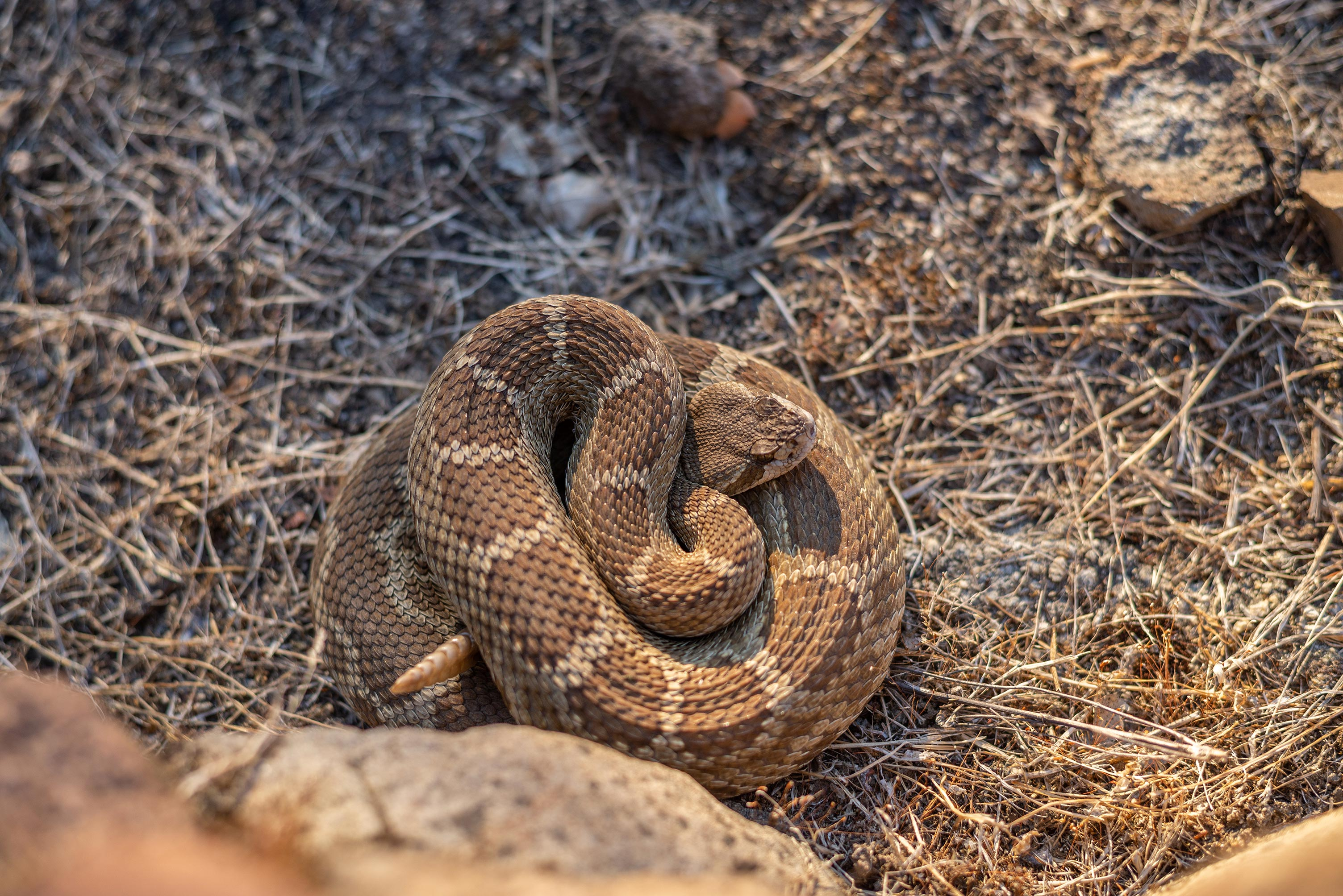 How to Deter Rattlesnakes