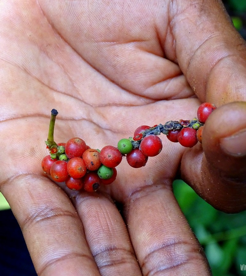 Przyprawy Zanzibar pieprz Zanzibar