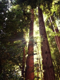 Redwood Trees in Santa Cruz