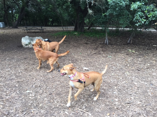 Dogs playing near the shaded area in the middle of the dog park at McAllister Park.