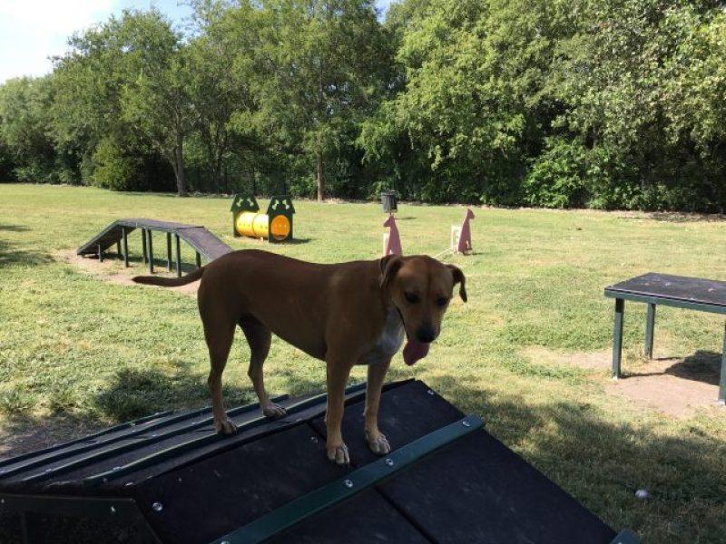 Abbey using the dog agility area at Pearsall Park Dog Park.