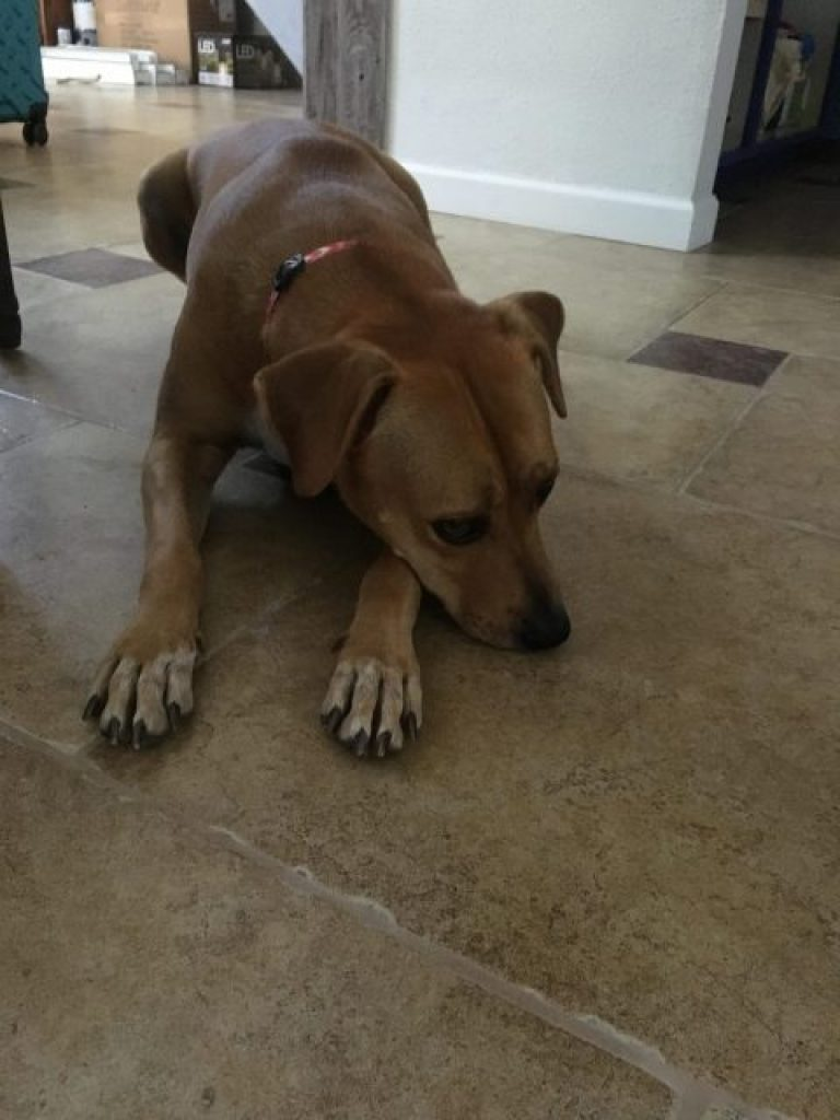 Abbey lays down after asked to do so.  Such a look may lead people to believe dogs feel shame.