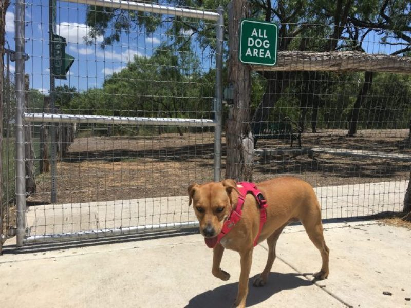 Abbey enters the gate to the dog park.