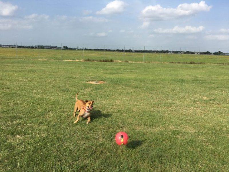 Abbey chasing the ball at Fredericksburg Dog Park