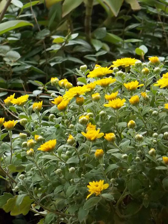 yellow-mum
