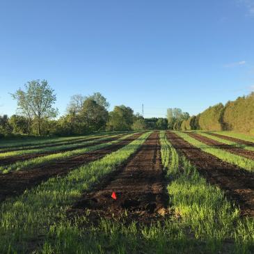 Planting Black Currants