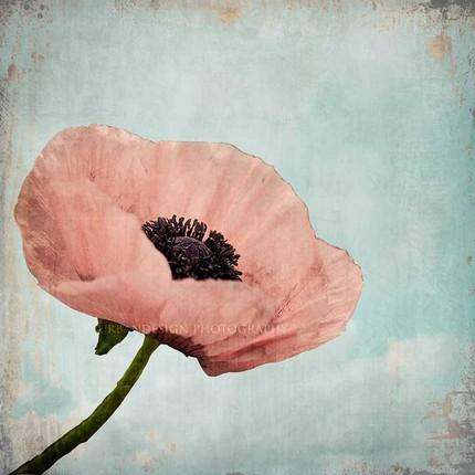 Poppy Enchanted - 8x8 Fine Art Print