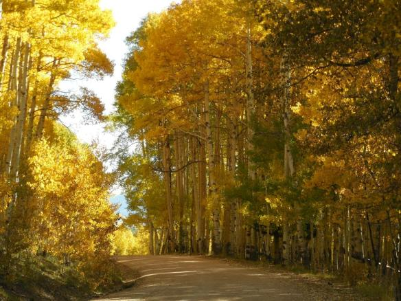 aspens along road