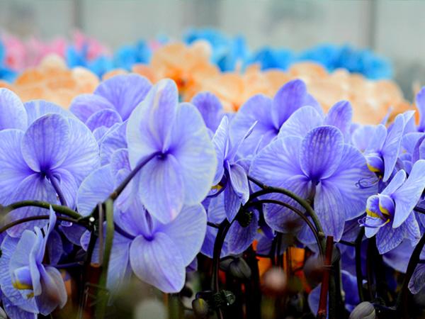 plainview-growers-colorfuze-orchids-01
