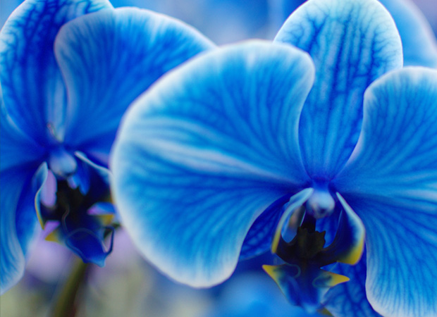 Blue Orchid Meaning