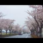 桜並木 阿見町 景観観光