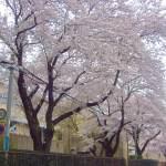 桜並木 阿見小学校 景観観光