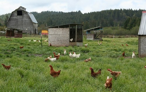 How Many Chickens Per Acre?