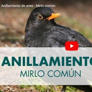 ANILLAMIENTO DE AVES: MIRLO COMUN