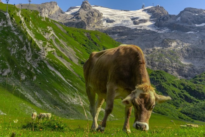 swiss alpine cow in the mountains grazing on the grass