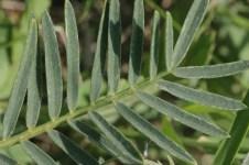L'astragale, une plante aux effets anti-âge mais pas que.