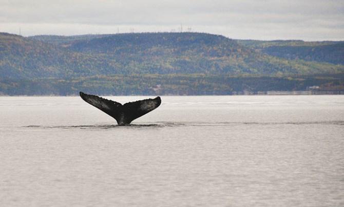 Tadoussac: baleine à bosse 2