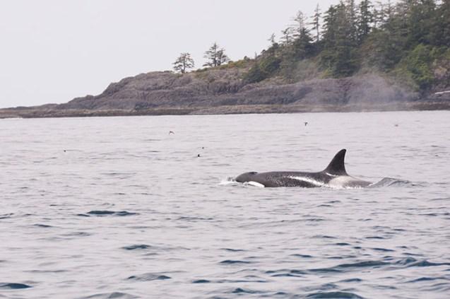Baleines grises