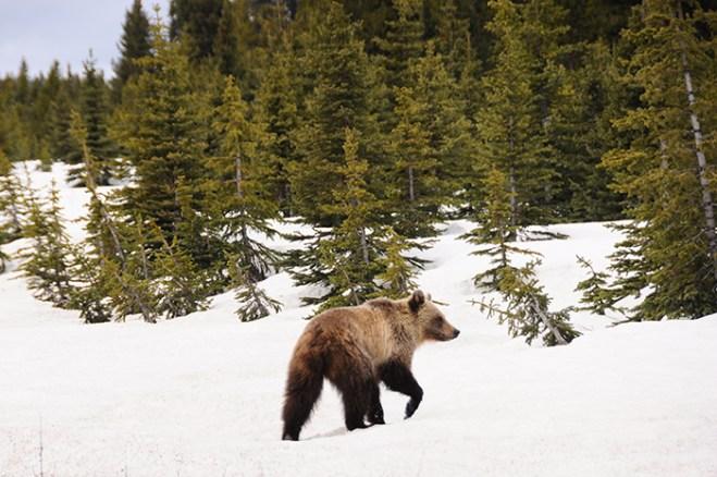 Road Trip en Voiture Canada / US : grizzli