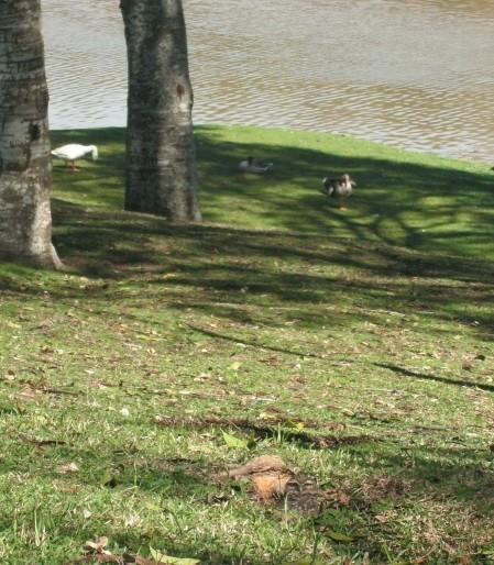 Parque São Lourenço em Curitiba: gramado, árvores, lago e animais. A coruja embaixo da foto.