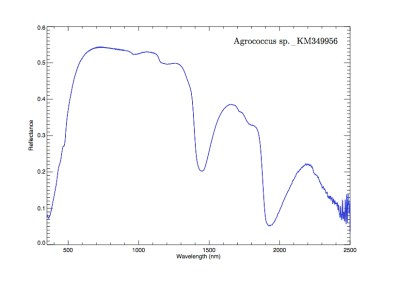 Spectral signature of bacteria Agrococcus sp._KM349956. Image Credit: Cornell University