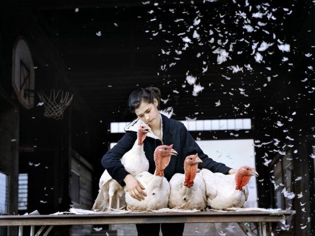 © Holly Lynton Przedstawiaja robotnika rolnego tulącego cztery indyki, które są przeznaczone douboju naŚwięto Dziękczynienia. Miasteczko Shutesbury- Massachusetts.