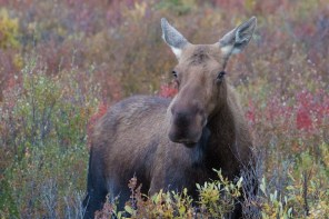 A cow moose looking for a boyfriend during the rutting season.