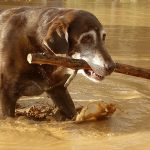Chocolate Labrador with Stick